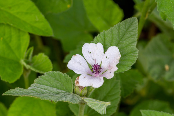Heemst (Althaea officinalis)