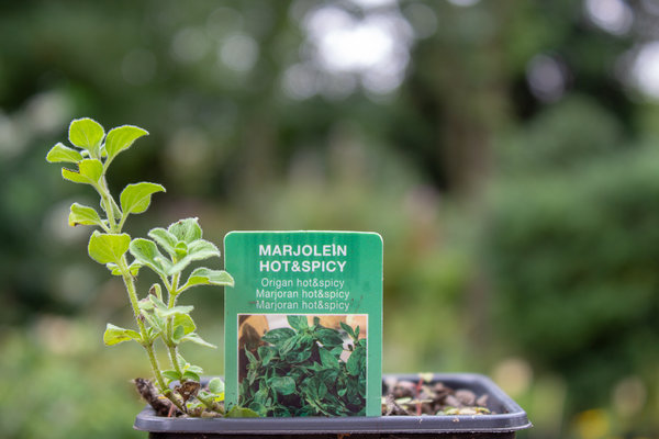 Marjolein Hot & Spicy (Origanum x vulgare 'Hot and Spicy)