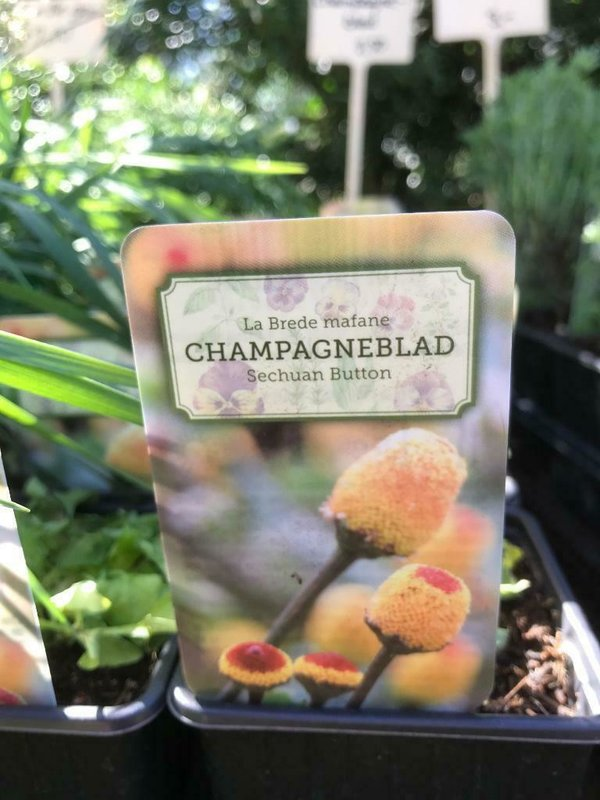 ABC kruid, champagneblad  (Spilanthes oleracea)