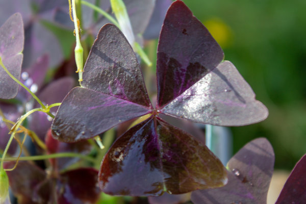 Rode Klaverzuring (Oxalis triangularis)