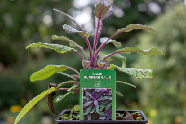 Salie  (Salvia officinalis 'Purpurascens')